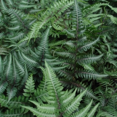 Athyrium niponicum 'Pictum' ('Metallicum') (Flerfarvet Fjerbregne)