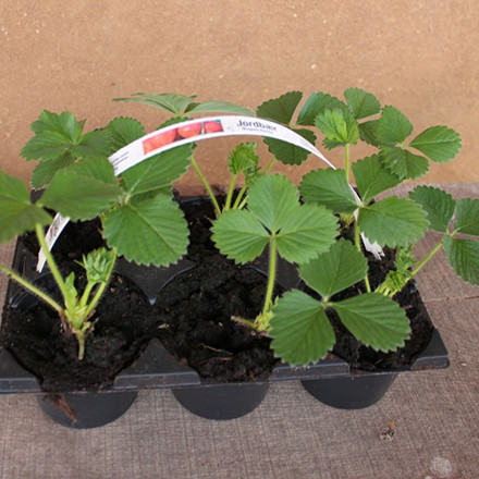 Fragaria × ananassa 'Polka' (Jordbær) - 5 stk.