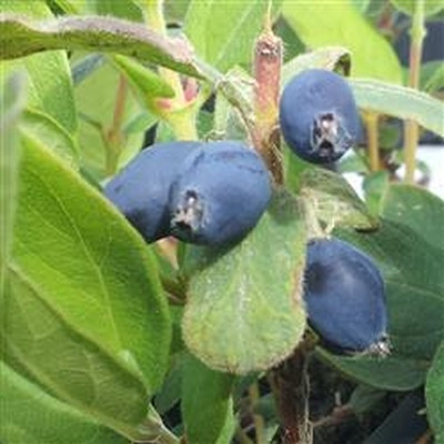 Lonicera kamt. 'Blue Velvet' - salgshøjde 30-50 cm. Honningbær - Blåfrugtet gedeblad (FJ)