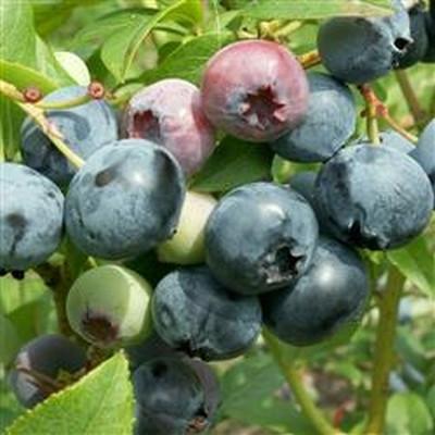 Vaccinium corymbosum 'Blue Crop'. (Blåbær) - Salgshøjde: 30-50 cm