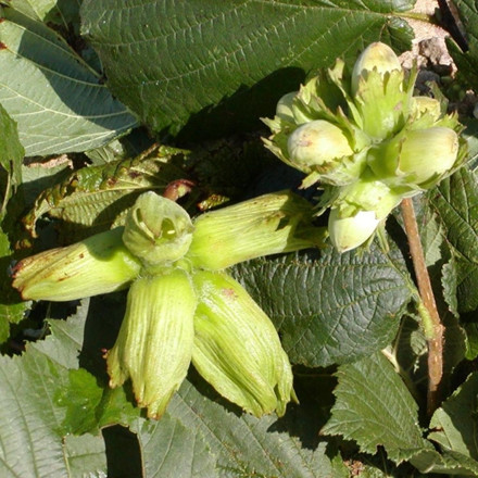 Corylus - 2 sorter. (Duo Hassel - Nød) - Salgshøjde: 50-80 cm.