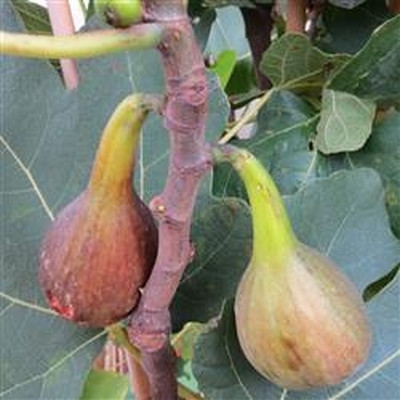 Ficus carica 'Brown Turkey' (Figen) (FJ) Salgshøjde 30-50 cm
