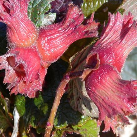 Corylus 'Rød Zellernød'.   - Salgshøjde: 50-80 cm. - Hasselnød (FJ)