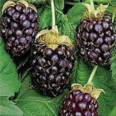 Rubus fruticosus 'Thornless Boysenberry'. (Boysenbær)  - Salgshøjde: 40-50 cm.
