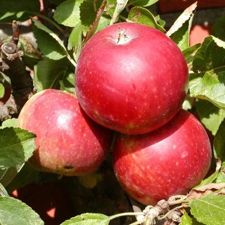 Æble 'Ingrid Marie' (Espalier) -salgshøjde: 150-200 cm.