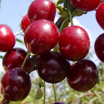 Kirsebær 'Skyggemorel' -salgshøjde: 150-200 cm.