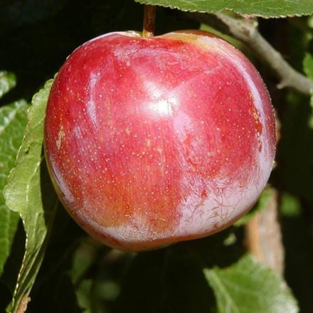 Blommetræ  'Althans Reine Claude'  -salgshøjde: 130-175 cm.
