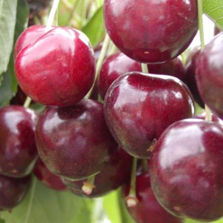 Kirsebær 'Stella' -salgshøjde: 150-200 cm.