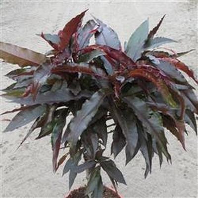 Prunus persica 'Crimson Bonfire' (Dværg  Fersken) - salgsh: busk/lille træ 50-80 cm. -
