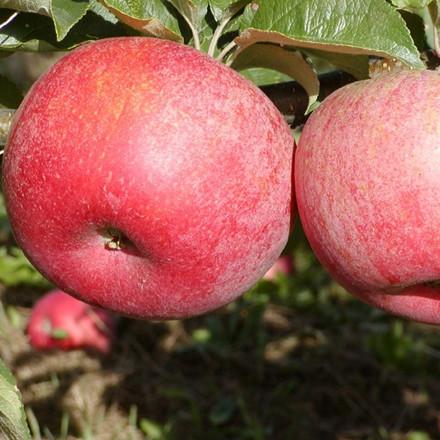 Æbletræ 'Rød Aroma' ('Fagravoll') -salgshøjde: 130-175 cm.