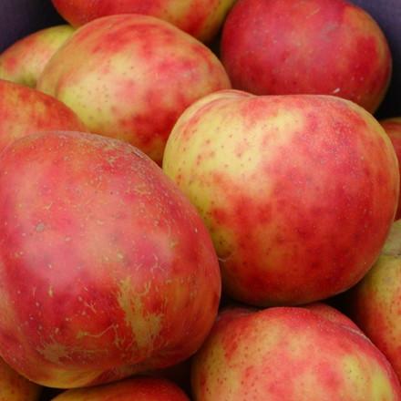 Æble 'Rød Gråsten' -salgshøjde: 150-200 cm. Udsolgt til efterår 2015