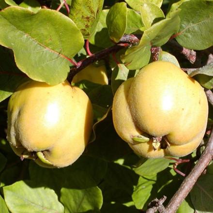 Cydonia oblonga 'Lescovas'. Opstammet -salgshøjde: 120-150 cm. - Æblekvæde