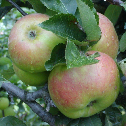 Æble 'Bramley' ('Vardeæble') -salgshøjde: 150-200 cm.