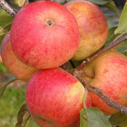 Æbletræ 'Elstar' -salgshøjde: 130-175 cm.