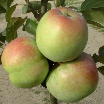 Æble 'Filippa' -salgshøjde: 150-200 cm.