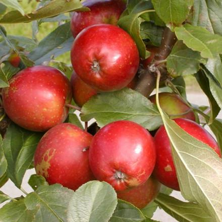 Æbletræ 'Ildrød Pigeon' -salgshøjde: 130-175 cm.