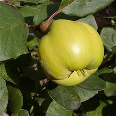 Cydonia oblonga 'Vranja'. Busk -salgshøjde: 80-100 cm. - Pærekvæde
