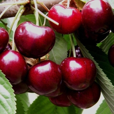 Kirsebær 'Skeena' -salgshøjde: 150-200 cm.