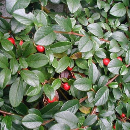 Cotoneaster divaricatus (Dværgmispel) Salgsh: 30-50 cm.  (Barrodet bdt m/25 stk)