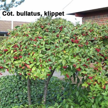 Cotoneaster bullatus (Bulet dværgmispel) Salgsh: 30-50 cm. (Barrodet bdt m/25 stk)