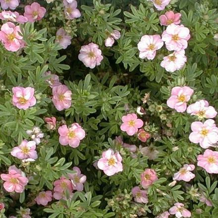 Potentilla fruticosa 'Lovely Pink' - Salgshøjde: 15-30 cm.  (Barrodet bundt m/25 stk) - Buskpotentil