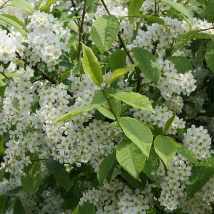 Prunus padus (Hæg) Salgshøjde: 40-60 cm.  (Barrodet bundt m/25 stk)