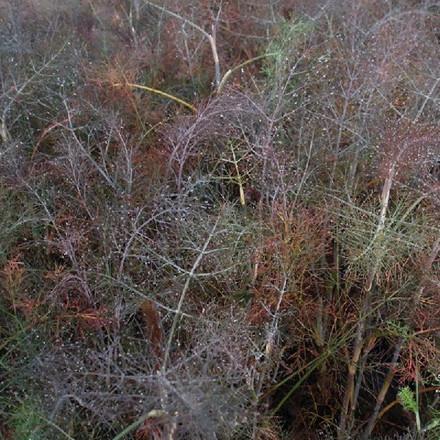 FOENICULUM vulgare 'Rubrum' ('Smokey') (Bronzefennikel)