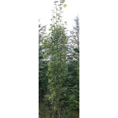 Populus tremula 'Erecta' - Salgshøjde 150-200 cm. - Søjle Bævreasp