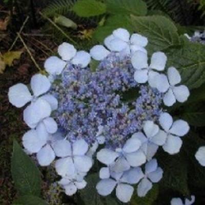 Hydrangea serrata 'Blue Bird' - Salgshøjde: 20-50 cm. - Hortensia