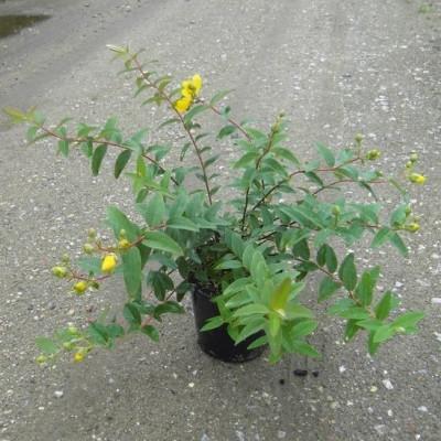 Hypericum hookerianum 'Hidcote' (Perikon) 30-50 cm.