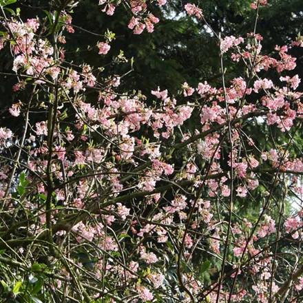 Viburnum bodnantense 'Charles Lamont' - Salgshøjde: 40-60 cm. - Kejserbusk (NP)