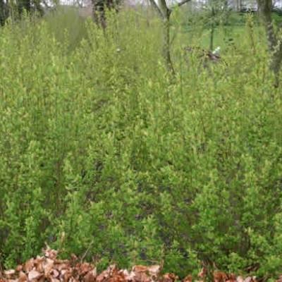 Ribes alpinum 'Hemus' - Salgshøjde: 30-50 cm. - Fjeldribs (GC)