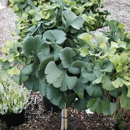 Ginkgo biloba 'Marieken' - Stammehøjde: 60 cm. - Tempeltræ