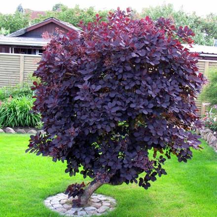 Cotinus coggygria 'Royal Purple' - Salgshøjde: 30-40 cm. Rødbladet Parykbusk