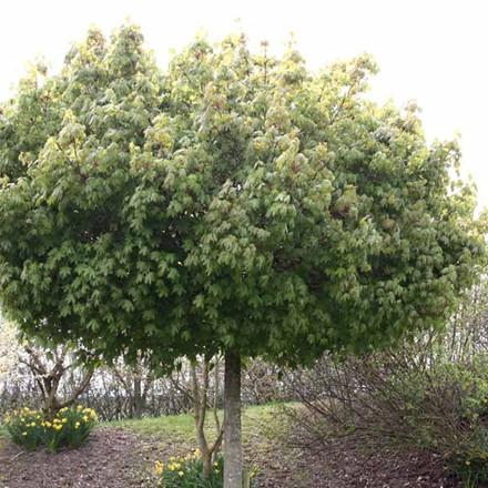 Acer platanoides 'Globosum' - Salgsstr.:   6 - 8  stammehøjde: 180 cm - Kugleløn