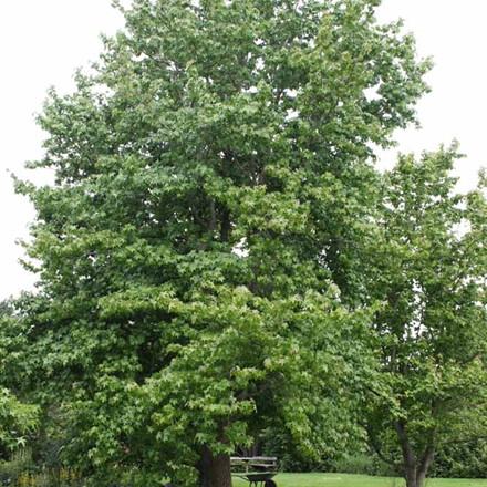 Liquidambar styraciflua - Salgsstr.:  175-200 cm. - Ambratræ