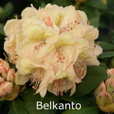 Rhododendron 'Belkanto' (Storblomstrende) - Salgshøjde: 30-40 cm.