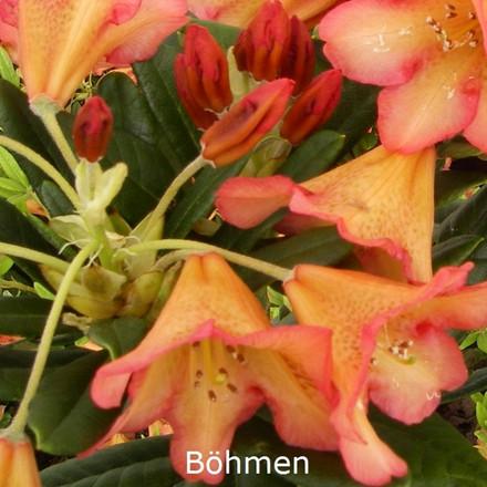 Rhododendron dichroanthum 'Böhmen' (Vildart) - Salgshøjde: 25-30 cm.