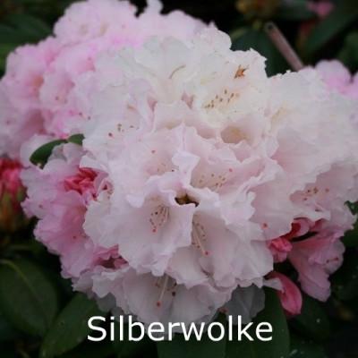 Rhododendron yak. 'Silberwolke'   - Salgshøjde: 25-40 cm.