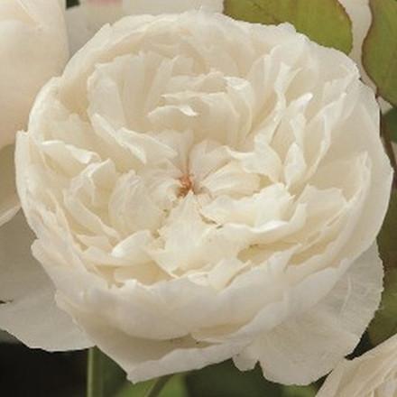 Rose William and Catherine (engelsk rose) , barrotad