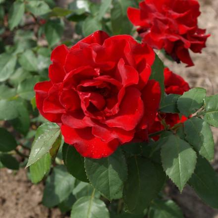 Rose 'Gisselfeld' (storblomstrende] barrotad