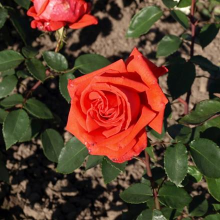 Rose Summer Holiday (storblomstrende)  , barrodet