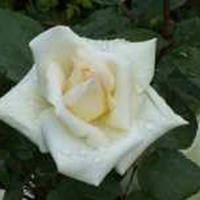 Rose Pascali (storblomstrende)  , barrodet