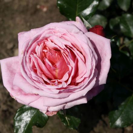 Rose 'Aloha' (slyngrose) barrodet
