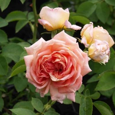 Rose 'Alchymist' (historisk klatrerose) barrodet
