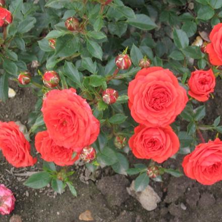 Rose Orange Juwel (bunddækkerose) , barrotad