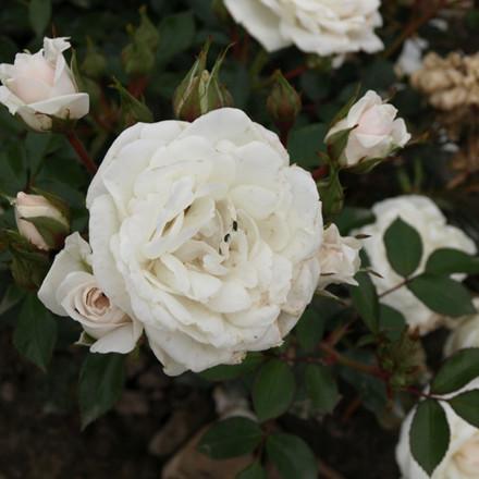 Rose Snow Hit (bunddækkerose) , barrotad