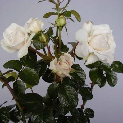 Rose Weisse Wolke (buketrose) , barrotad