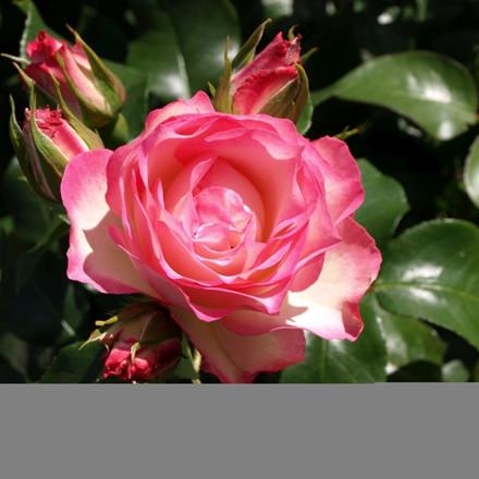 Rose Strawberry Ice (buketrose)  , barrotad