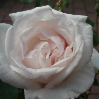 Rose Mme. Alfred Carriere (historisk slyngrose)  , barrotad